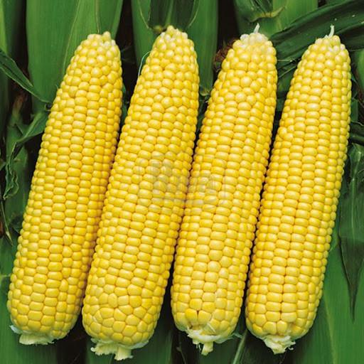 Купить Семена сахарной кукурузы Сигнет F1 (Signet F1) 5000 семян Seminis (Голландия)