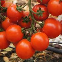 Томат черри Ceraso F1 (Церазо F1)  - Seminis (Семинис), уп. 1000 семян (детерминантный)