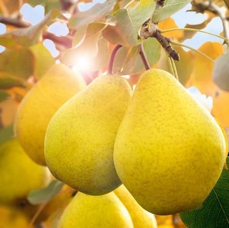 Саджанці колоновидної груші Декора