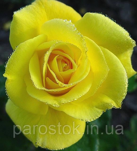 Роза Фрезия. Флорибунда низкорослая