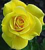 Роза Фрезия. Флорибунда.