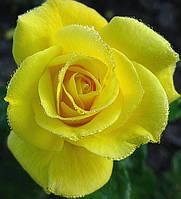 Роза Фрезия. Флорибунда низкорослая, фото 1