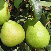 Саджанці колоновидної груші  Сапфіра Г-1, фото 1