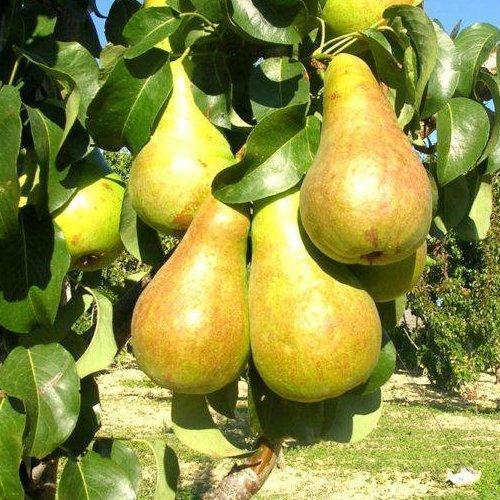 Саджанці груші Осінь Буковини