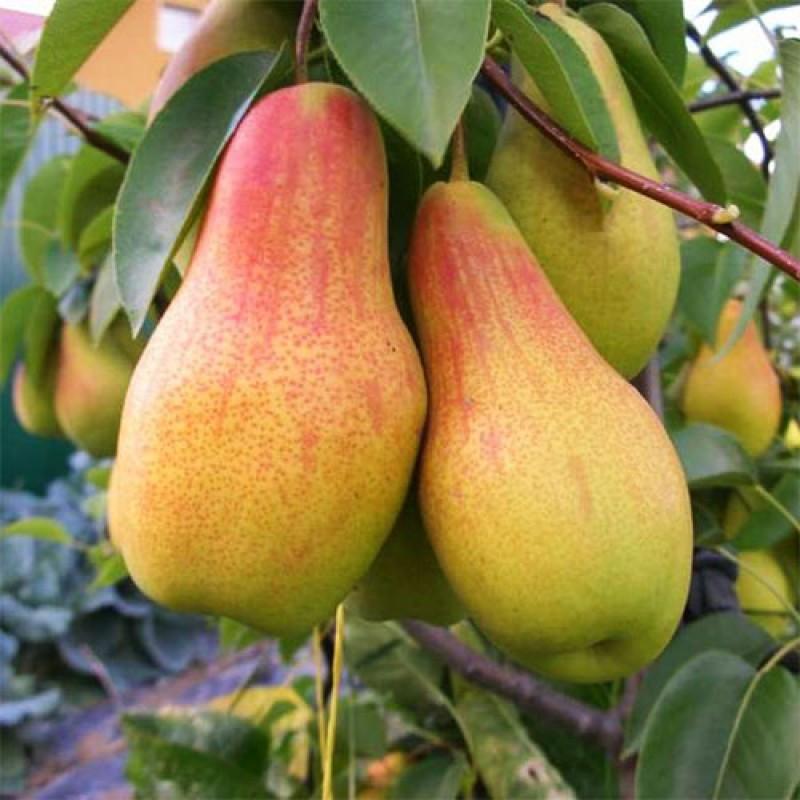Саджанці осіннього сорту груші Талгарська красуня