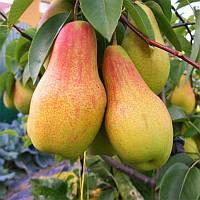 Саджанці осіннього сорту груші Талгарська красуня, фото 1