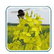 Рекомендації від ТОВ «Мінераліс Україна» щодо використання Мікро-Мінераліс (Бор) для ріпаку озимого.