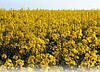 Рекомендації щодо використання Мікро-Мінераліс (Бор) та Нано-Мінераліс при осінньому догляді в посівах озимого ріпаку від ТОВ «Мінераліс Україна».