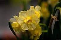 Нарцисс Yellow Cheerfulness