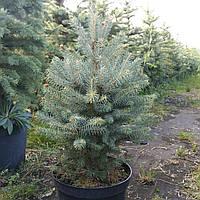 Ель колючая, Picea pungens var.'Glauca Majestic', 90 см