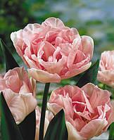 Тюльпан Angelique, фото 1