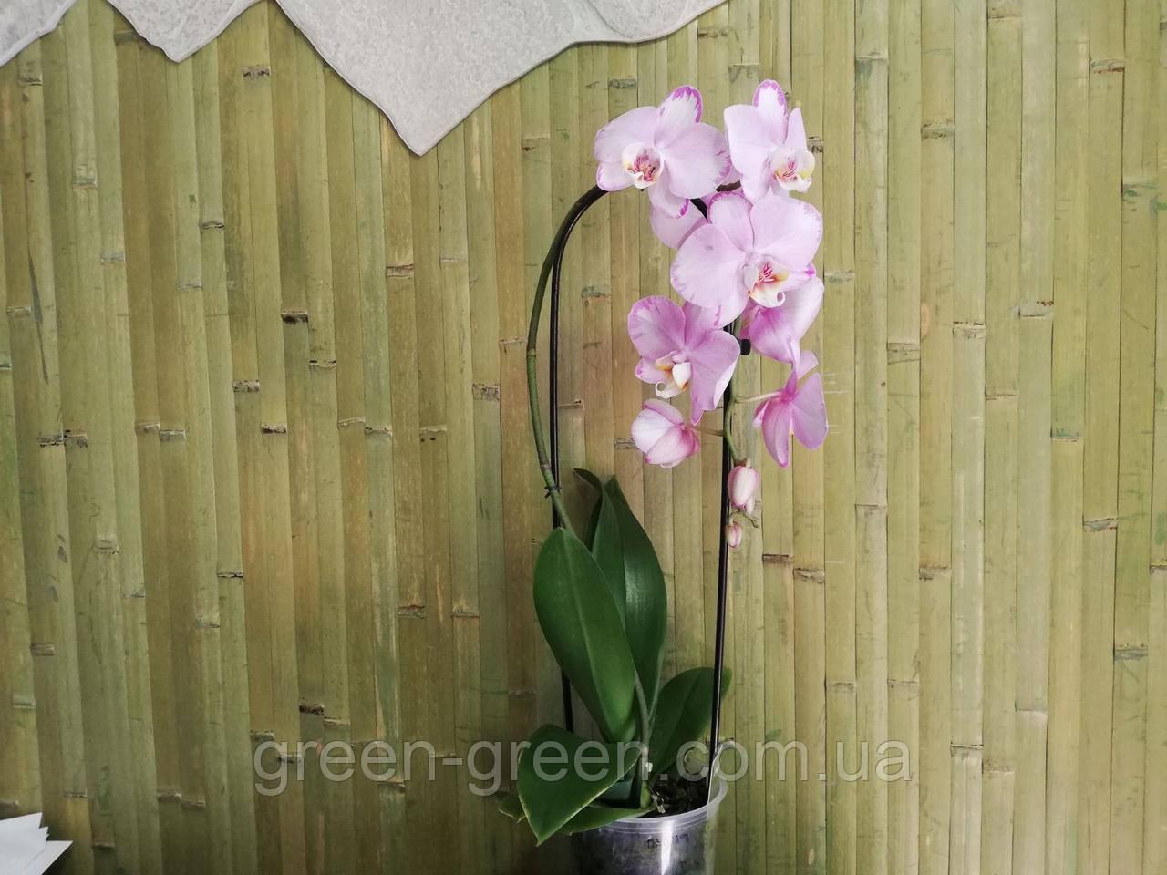 Орхидея Фаленопсис Каскад розовая(Cascade)
