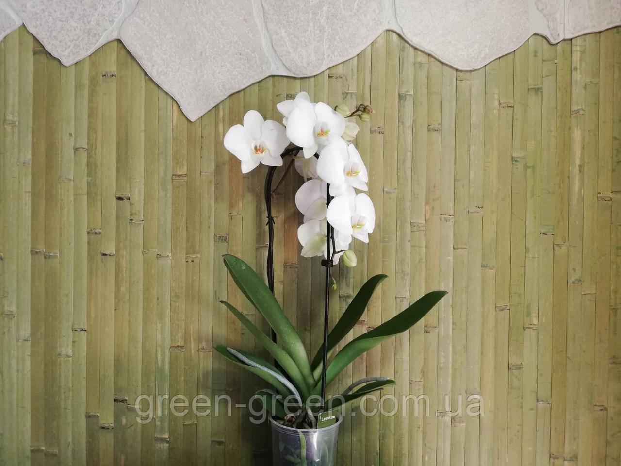 Орхідея Фаленопсис Каскад біла (Cascade)