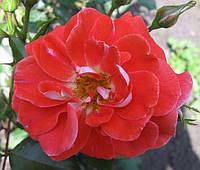 Роза флорибунда «Метенжи». , фото 1