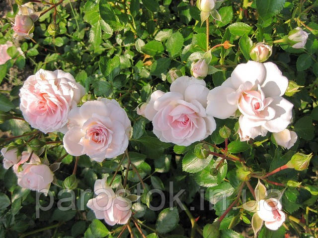 Роза Лавли Мейян. Почвопокровная роза