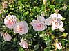 Роза Лавли Мейян. Почвопокровная роза.