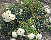 Роза почвопокровная «Каникулы»
