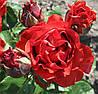 Роза  Эльторо. Чайно-гибридная роза.