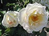 Роза Шнеевальзер. (ввв).Плетистая роза, фото 2