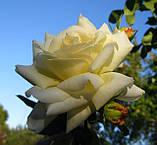 Роза Шнеевальзер. (ввв).Плетистая роза, фото 3