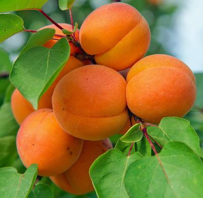 Саженцы абрикоса, каталог наличия Весна 2021