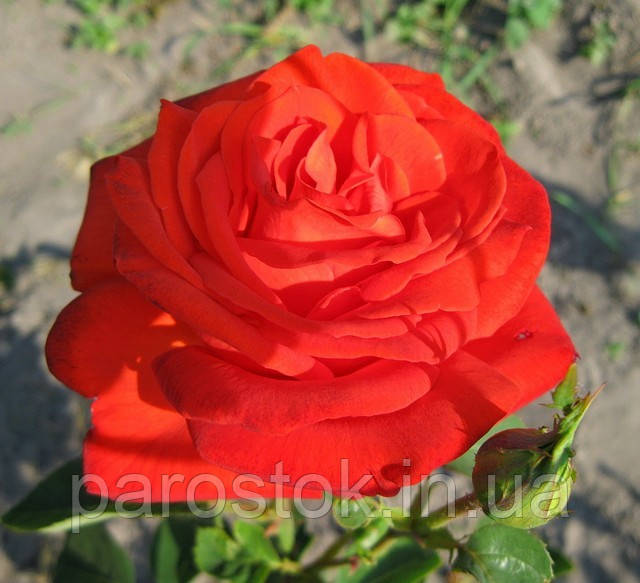 Роза Лидка. Чайно-гибридная роза.