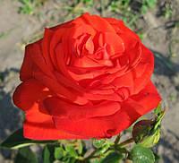 Роза Лидка. Чайно-гибридная роза, фото 1