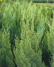 Кипарисовик Лавсона White spot 2 річний, Кипарисовик Лавсона Вайт Спот, Chamaecyparis Lawsoniana White spot, фото 2