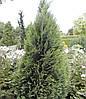 Кипарисовик Лавсона White spot 2 річний, Кипарисовик Лавсона Вайт Спот, Chamaecyparis Lawsoniana White spot, фото 4