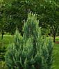 Кипарисовик Лавсона White spot 2 річний, Кипарисовик Лавсона Вайт Спот, Chamaecyparis Lawsoniana White spot, фото 5