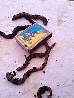 Червь насадочный - Дендробена Венета (фасовка 2 кг)