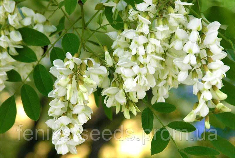 Акация (цветы)