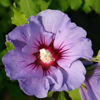 Саджанці гібіскусу садового Marina, фото 1