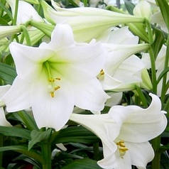 Лилия гибрид LO White Heaven, трубчастая 12/14