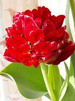 Тюльпан Emblazon, фото 1