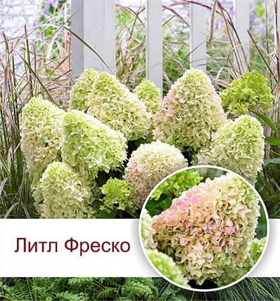"""Гортензия метельчатая """"Литл Фреско"""", (С3), фото 2"""