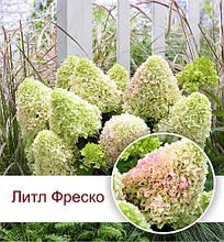 """Гортензия метельчатая """"Литл Фреско"""", (С3)"""