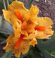 Ирис оранжевый, фото 1