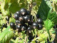 Саженцы смородины черной