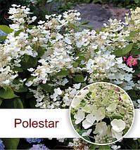 Гортензия метельчатая Полистар/Polestar, фото 3