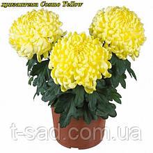 Хризантема Cosmo Yellow (Космо Йеллоу) рассада