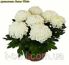 Хризантема Cosmo White (Космо Вайт) рассада