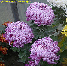 Хризантема Cosmo Purple (Космо Перпле) рассада