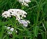 Тысячелистник сухой цвет, фото 2