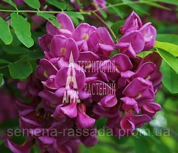Робиния псевдоакация Purple Robe (120-140 см, 5 л)