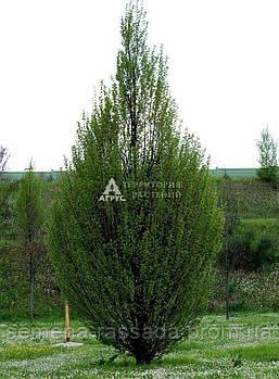 Граб обыкновенный Fastigiata (160-180 см, 7,5 л)