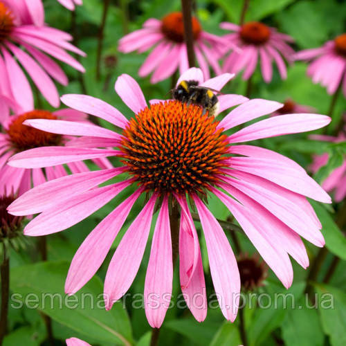 Эхинацея розовая Семена