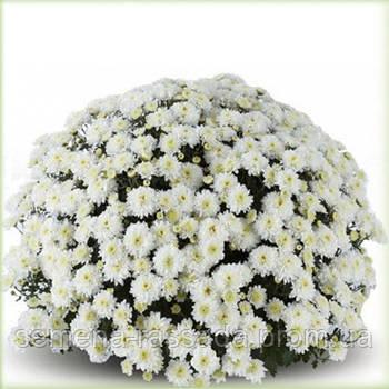Хризантема Аксима белая
