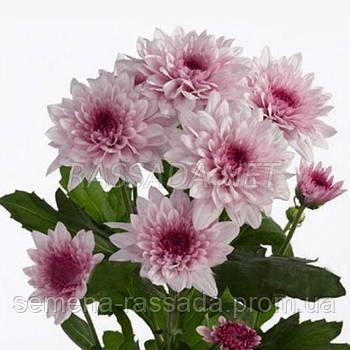Хризантема Амалфи розовая