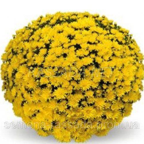 Хризантема Изольда желтая